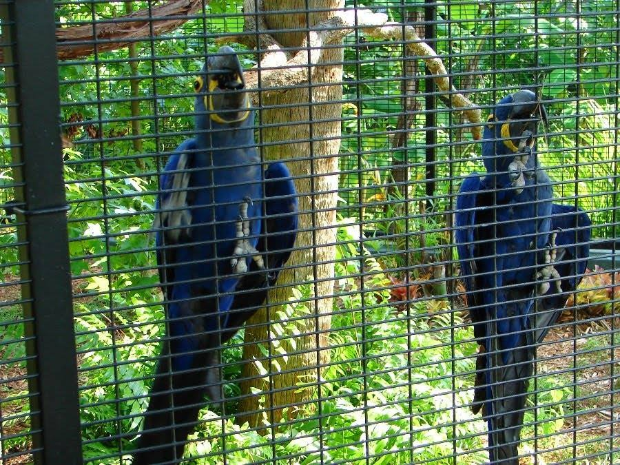 blue macaws for sale