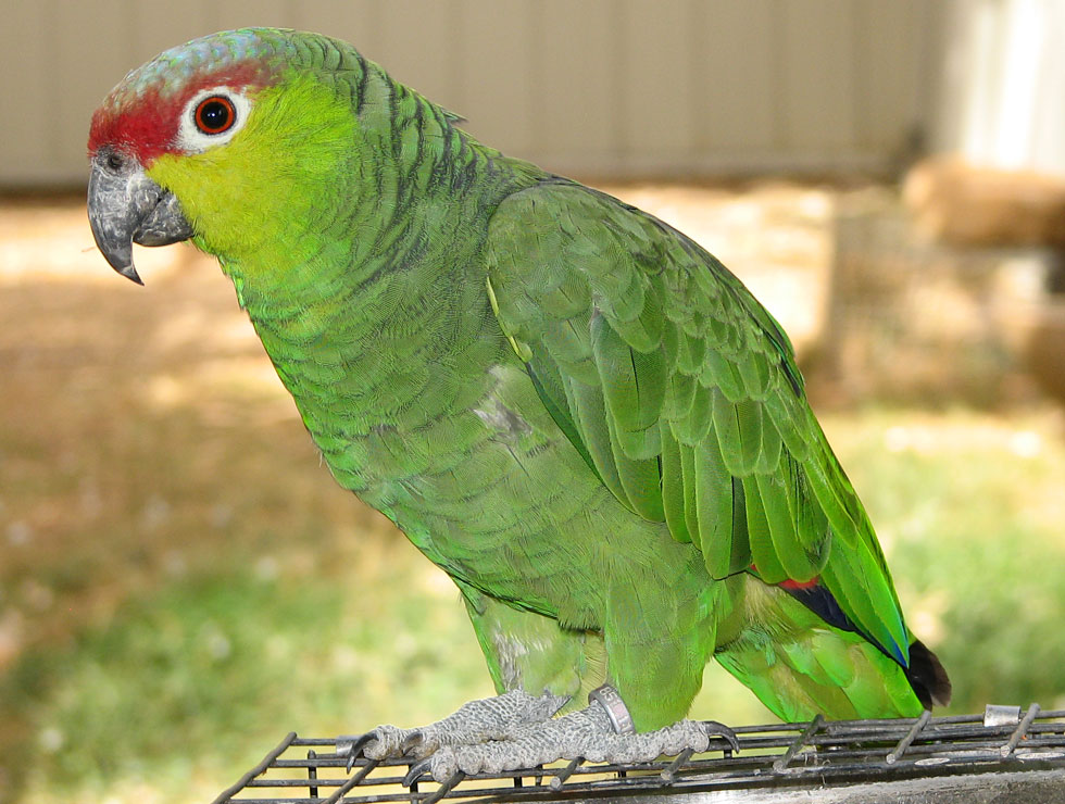 Lilac-Crowned Amazon For Sale