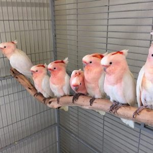 Buy Major Mitchell Cockatoo Birds