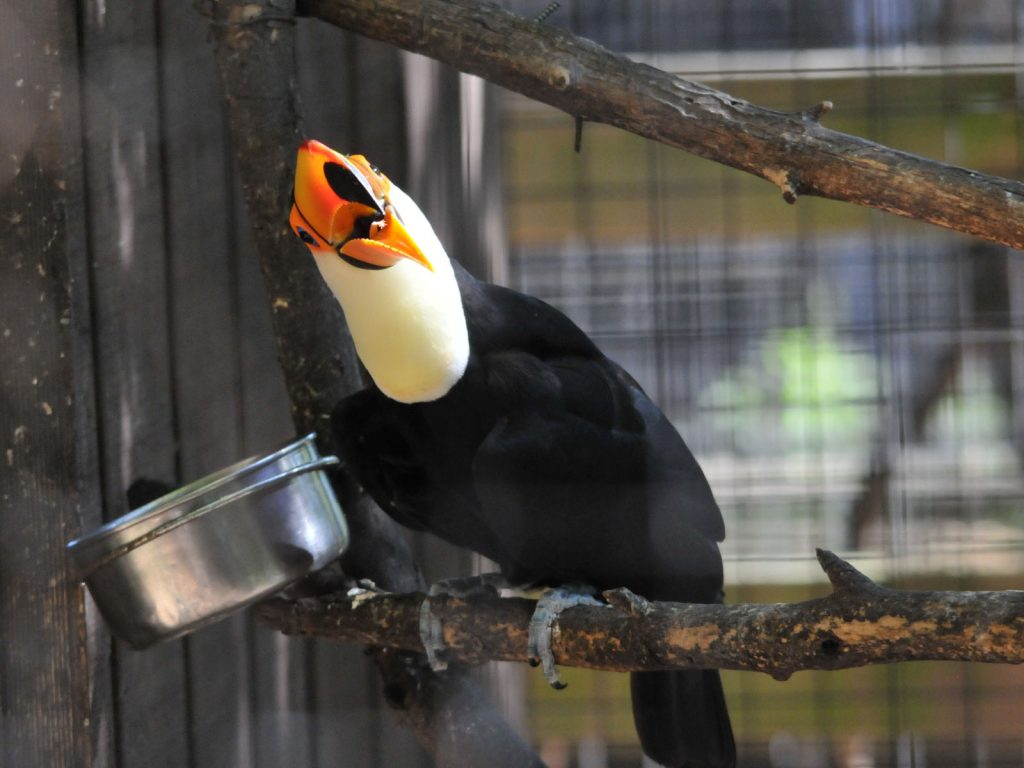 Buy Toco Toucan For Sale Online