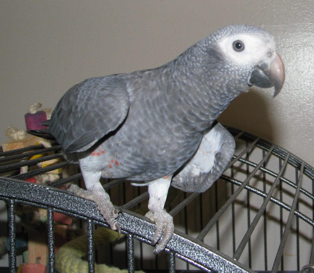 Buy Timneh African Grey Parrots For Sale