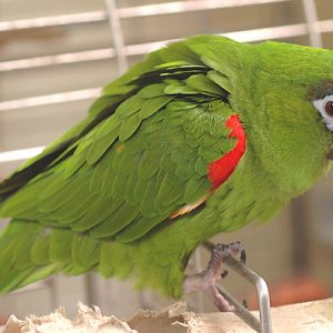 Buy Hahn's Macaw for sale