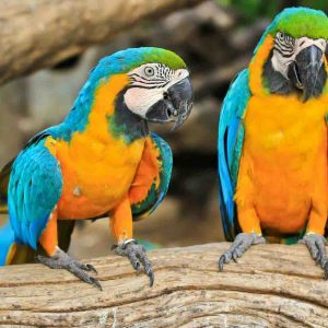Buy Blue & Yellow Macaw Online