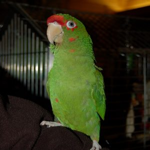 BUY MILITARY MACAW ONLINE