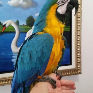 Buy Cheap Macaws Online
