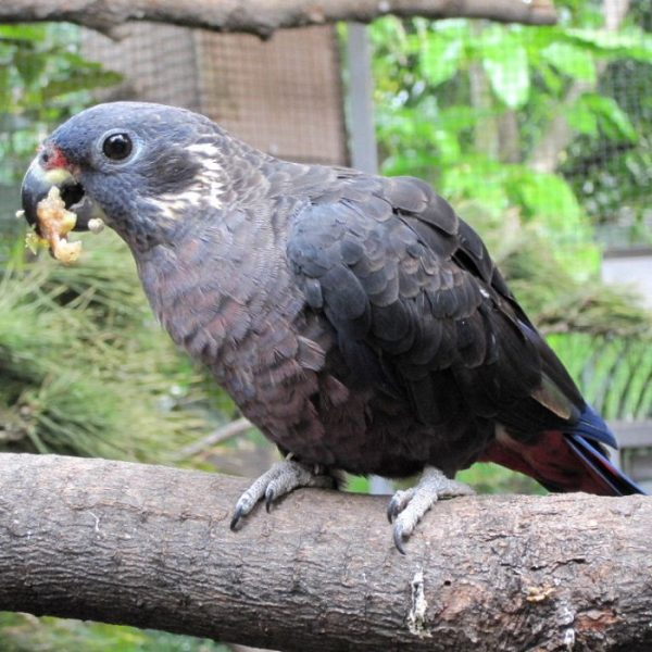 Buy Dusky Pionus parrot for sale