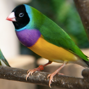 Buy Gouldian finch for sale