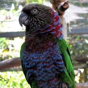 Buy Hawk headed parrot for sale