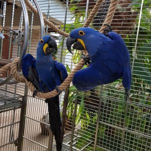 Buy Hyacinth macaw for sale