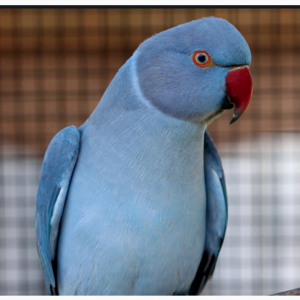 Buy Indian ringneck parakeets for sale