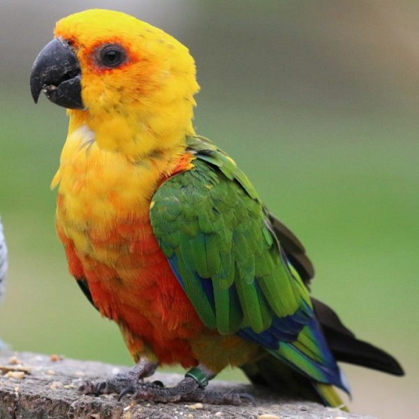 Buy Jenday conure for sale