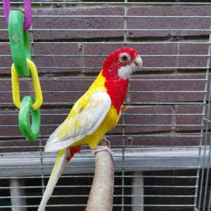 Buy Rosella for sale