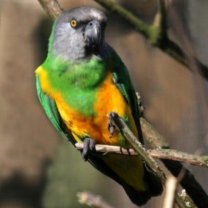 Buy Senegal parrot for sale