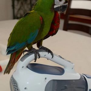 Buy Severe macaw for sale