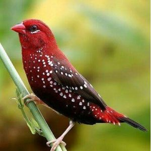 Buy Strawberry finches for sale