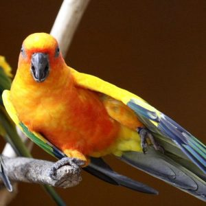 Buy Sun conure for sale