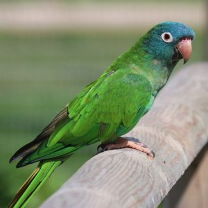 Buy blue crown conure for sale