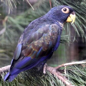 Buy bronze wing pionus for sale