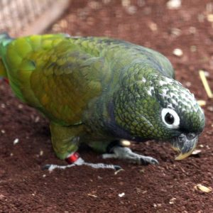 MAXIMILIAN PIONUS PARROT FOR SALE