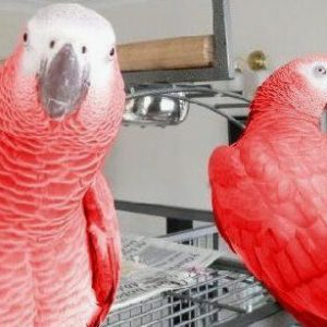 Red Factor African Grey For Sale